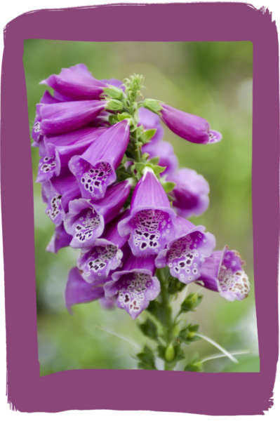 Purple_Foxglove_Digitalis_purpurea_2008_03-768x1156a