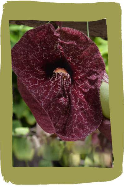 Purple_Foxglove_Digitalis_purpurea_2008_03-768x1156d